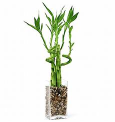 Florero de Lucky Bamboo